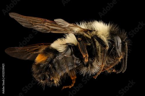 Bombus affinis, bee Macro specimen, Flying insect , side front back, Tucker County, West Virginia Tapéta, Fotótapéta