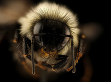 Bombus Affinis, Bee Macro , Closeup Of Face Fluffy Head Of Bee, Flying Insect.bee Macro Lens, Closeup Of Face Fluffy Head Of Bee, Flying Insect