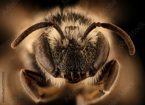 Colletes robertsonii, bee Macro , Closeup of face fluffy head of bee, Flying insect.bee Macro lens, Closeup of face fluffy head of bee, Flying insect