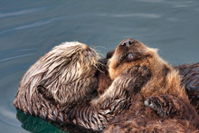 Mother Sea Otter Taking Care Of Her Recently Born Pup.