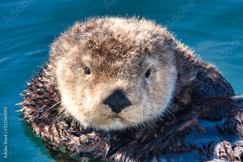 Young male sea otter adrift in the boat harbor in Monterey. Canvas Print