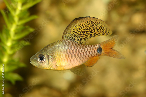 Obraz na plátně Drape finned barb Aquarium Fish Oreichthys crenuchoides neon highfin barb