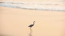Crane Bird Walking On The Sand...