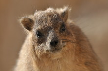 Rock Hyrax In The Ein Gedi Nat...