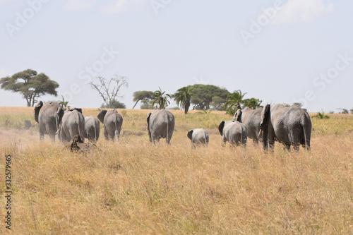 Photo African elephant family walking in Serengeti National Park, Tanzania