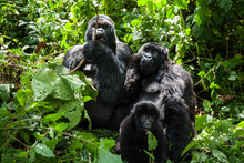 A Family Of Endangered Mountain Gorillas In The Rainforest Of Virunga Park