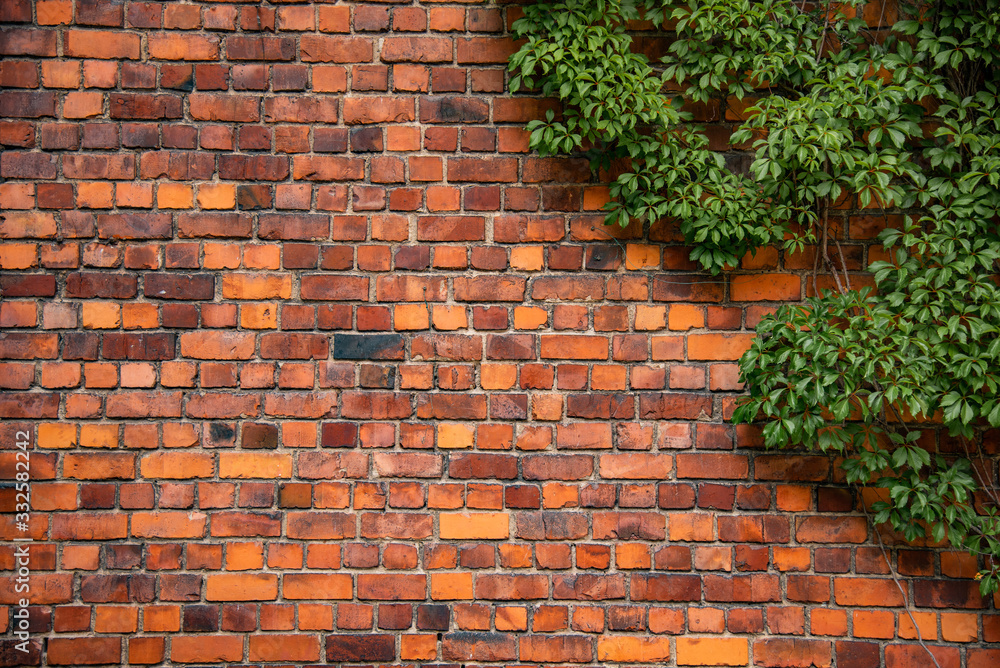 Fototapeta Climbing plant, green ivy or vine plant growing on antique brick wall of abandoned house. Retro style background