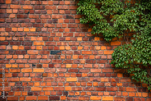 Fototapeta Climbing plant, green ivy or vine plant growing on antique brick wall of abandoned house. Retro style background obraz