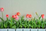 Fototapeta Tulipany - チューリップ