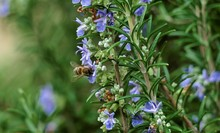 Bee And Purple Rosemary Herb In Nature