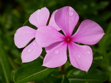 Madagascar Periwinkle Flowers With Water Drops