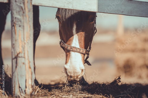 old mare horse in halter eating hay in paddock in spring daytime Tapéta, Fotótapéta