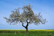 Blühender Apfelbaum im Taunus/Deutschland