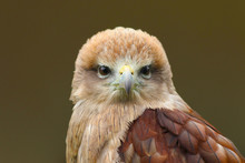 Close Up Head And Shoulders Of A Yellow Billed Kite (Milvus Aegyptius) Bird Of Prey Looking Forward