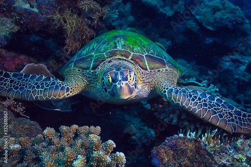 Fotografie, Obraz sea turtle underwater / exotic nature sea animal underwater turtle
