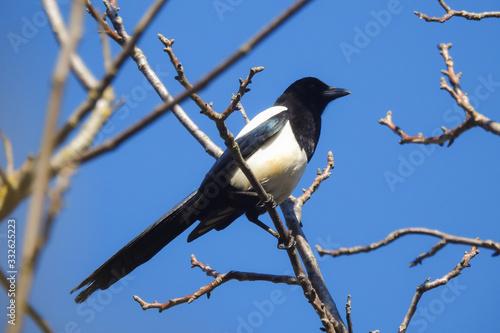 Photo gazza (Pica pica),ritratto su ramo e sfondo cielo