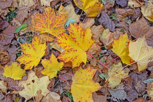 Carpet Of Leaves In A UK Wood In Autumn
