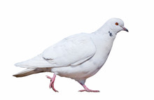 Isolated Walking White Dove