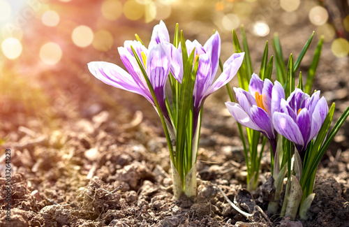 Crocus spring flowers in garden. Sunny time springtime day with sunshine light. Close-up. Shallow depth of field.