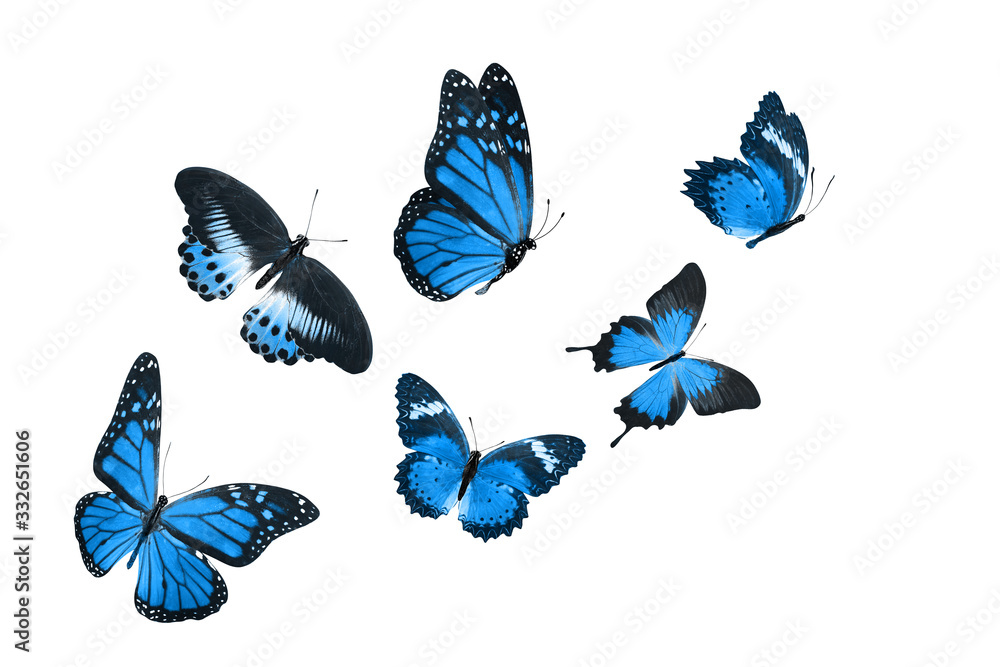 Fototapeta set beautiful blue tropical butterflies isolated on a white background. moths for design