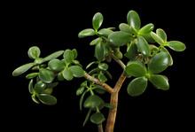 Succulent Jade Plant (Crassula...