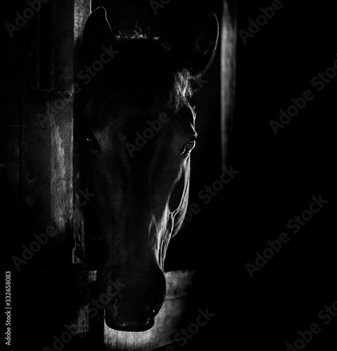 Obraz na plátně protrait in Black and white of a horse head behind the door of the stable with a