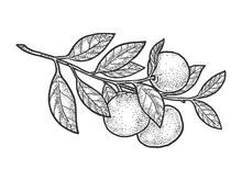 Mandarin Orange Plant Sketch Engraving Vector Illustration. T-shirt Apparel Print Design. Scratch Board Imitation. Black And White Hand Drawn Image.