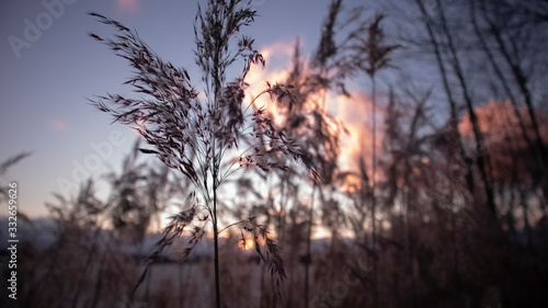 sunset atmosphere in the thickets of fluffy lake plants Canvas Print