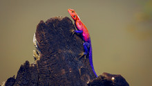 The Agama Cock [dominant Male]