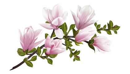 Fototapeta Do salonu Beautiful twig blooming Magnolia. Vector illustration. EPS 10