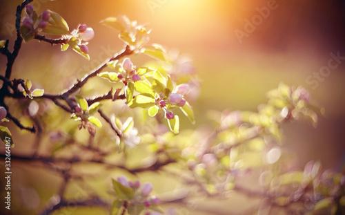 Fototapeta kwiaty   apple-tree-flowers-in-the-spring