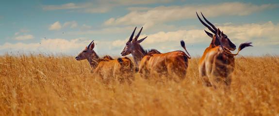 Giant Eland [Taurotragus Oryx]