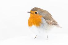 A European Robin (Erithacus Ru...