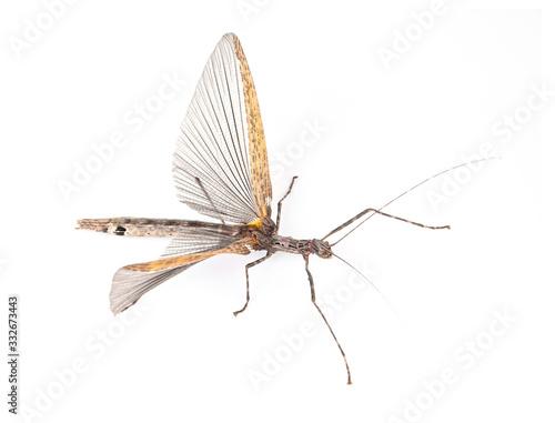 Phasmatidae  on a white background Canvas-taulu