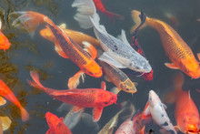 Koi Carp In A Pond Close Up As...