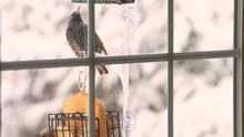 Two European Starling Birds Pe...