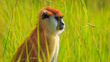 Patas Monkey (Erythrocebus Pat...