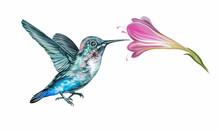 Hummingbird (Mellisuga Helenae)