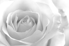 Soft Rose Black And White Mono...