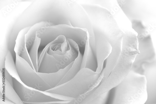 Fototapeta Soft rose black and white monochrome flower petals delicate gentle rose photography obraz na płótnie