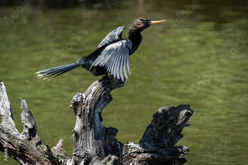 Anhinga sunning wings at Harris Neck Wildlife Sanctuary in Georgai Wallpaper Mural