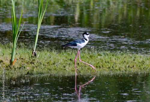 Black-necked Stilts at lake in Orlando Wetlands in Florida. Canvas Print