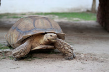 A Large Land Turtle Walking On...