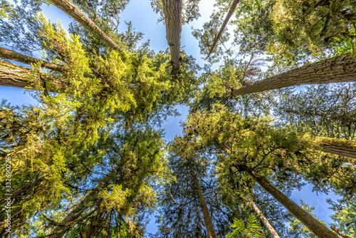 Fototapeta Douglas fir trees from below in Cathedral Grove,  MacMillan Provincial Park, Vancouver island, Bristish Columbia, Canada obraz