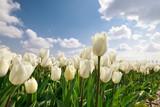Fototapeta Tulipany - white tulips close up outdoors