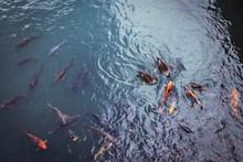 Nishikigoi Koi In The Lake Wat...