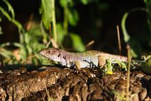 Lizard Sunbathing Calmly In Br...