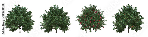 Japanese camellia young growth real trees with clipping path and alpha channel Wallpaper Mural
