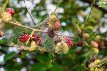 Mulberry Berries In A Web Of Caterpillars Of An American White Butterfly. Pest Insect Destroy Plant. Limited Depth Of Field.