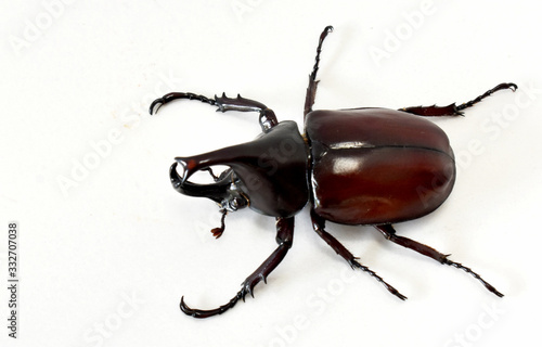 Fotografia Rhinoceros beetle, Hercules beetle, Unicorn beetle, horn beetle male isolated on